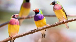 four gouldian finches