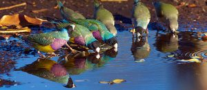 gouldian finches for sale near me