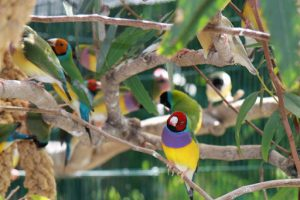 gouldian finches in hotel lobby